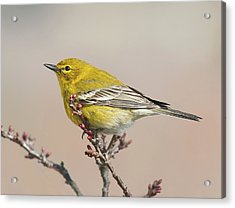 Acrylic Print featuring the photograph Spring Warbler 1 2017 by Lara Ellis
