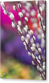 Spring Willow Branch Of White Furry Catkins Acrylic Print