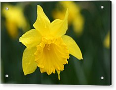 Spring Yellow Daffodils Flowers Acrylic Print by Pierre Leclerc Photography