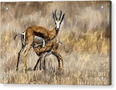 Springbok Mom And Calf Acrylic Print