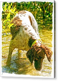 Springer Spaniel Field Acrylic Print by Constantine Gregory