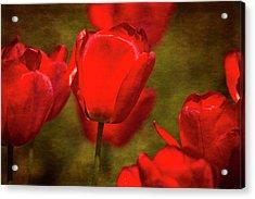 Springing Up Tulips Acrylic Print by Karol Livote