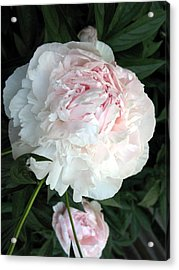 Acrylic Print featuring the photograph Springs Peony by Carol Sweetwood