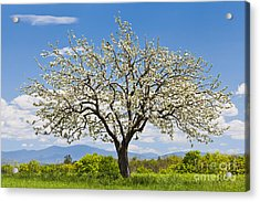 Springtime Apple Tree Acrylic Print
