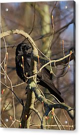 Acrylic Print featuring the photograph Springtime Crow by Bill Wakeley
