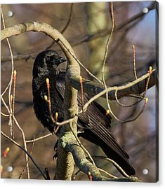 Acrylic Print featuring the photograph Springtime Crow Square by Bill Wakeley