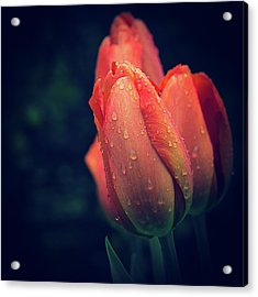 Acrylic Print featuring the photograph Springtime Orange Tulips With Drops by Julie Palencia