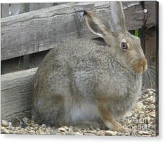 Springtime Rabbit Acrylic Print by Sonya Chalmers