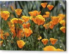 Acrylic Print featuring the photograph Springtime  Super Bloom In California by Cliff Wassmann