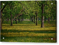 Springtime Through The Pecan Trees Acrylic Print