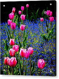 Springtime Tulips Acrylic Print by Olivier Le Queinec