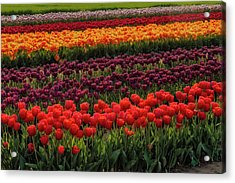 Acrylic Print featuring the photograph Springtime Tulips by Susan Candelario