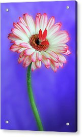 Sprouting Dahlia Acrylic Print