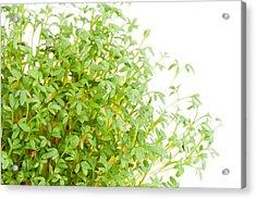 Sprouts Of Lepidium Sativum Or Cress Growing  Acrylic Print by Arletta Cwalina