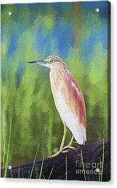 Squacco Heron Ardeola Ralloides Acrylic Print by Liz Leyden
