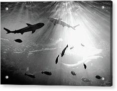 Squales Fish Acrylic Print by Xamah Image