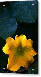 Acrylic Print featuring the photograph Squash Blossom by Lenore Senior