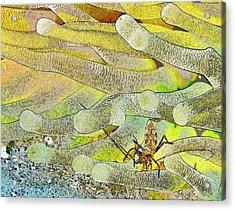 Squat Anemone Shrimp Cartoon Acrylic Print by Jean Noren