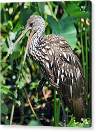 Squawk Acrylic Print by Rose  Hill