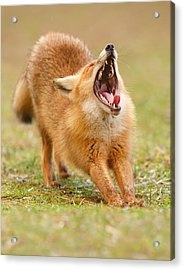 Squealing Brakes - Yawning Red Fox Acrylic Print by Roeselien Raimond