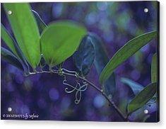 squiggle Vine Acrylic Print