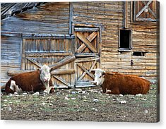 Squires Herefords By The Rustic Barn Acrylic Print