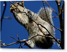 Acrylic Print featuring the photograph Squirrel 5 Up The Tree by Paul SEQUENCE Ferguson             sequence dot net