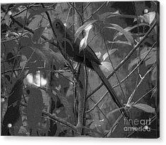 Squirrel Cuckoo  Acrylic Print