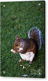 Squirrel Eating Acrylic Print
