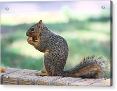 Squirrel Eating Crab Apple Acrylic Print by Colleen Cornelius
