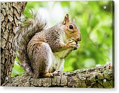 Squirrel Eating On A Branch Acrylic Print
