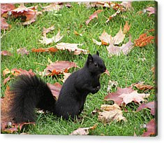 Squirrel Exploring Acrylic Print by Richard Mitchell