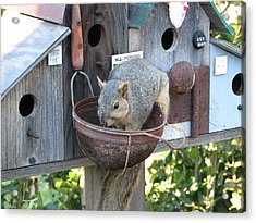 Squirrel Feeding Acrylic Print