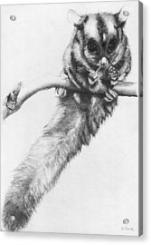Acrylic Print featuring the drawing Squirrel Glider by Shawna Rowe