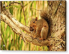 Squirrel In A Tree In The Marsh Acrylic Print