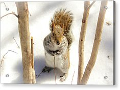 Squirrel In Snow Acrylic Print