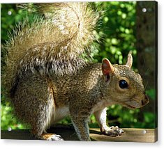 Squirrel In The Sunshine Acrylic Print by Rose  Hill