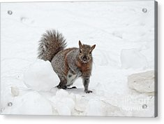 Acrylic Print featuring the photograph Squirrel In Winter Snow by Charline Xia