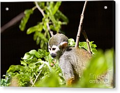 Squirrel Monkey Youngster Acrylic Print by Afrodita Ellerman