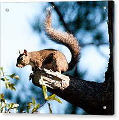Squirrel On Limb Acrylic Print by Bill Perry