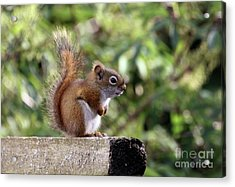 Squirrel On The Edge Acrylic Print by Marjorie Imbeau