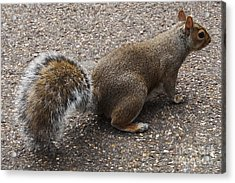 Squirrel Side Acrylic Print