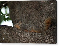 Squirrel1 Acrylic Print by Evelyn Patrick