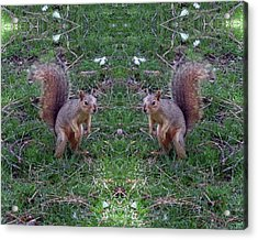 Squirrels With Question Mark Tails Acrylic Print