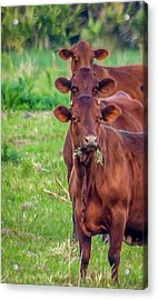 Stacked Up Cows          Acrylic Print