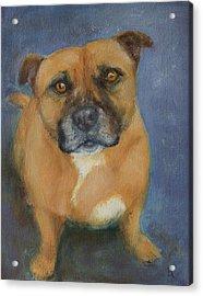 Staffordshire Bull Terrier Acrylic Print