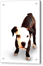 Staffordshire Bull Terrier Puppy Acrylic Print by Michael Tompsett