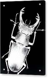 Stag Beetle Acrylic Print by Gabriela Insuratelu