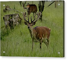 Stag Of The Herd. Acrylic Print