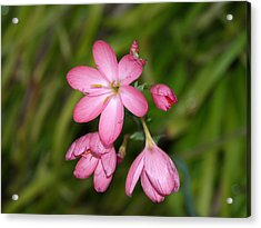 Stages Of A Flower Acrylic Print by Laura Allenby